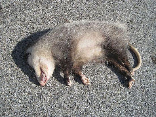 отреставрировать старый засыпает при опасности животное заодно